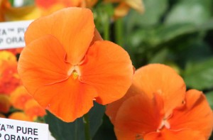 Pansy Delta Pure Orange