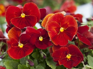 Pansy Delta Pure Red