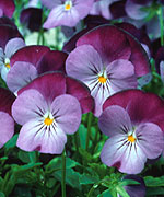 Viola Sorbet Purple Jump-Up