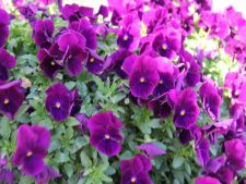 Pansy-Cool-Wave-Purple
